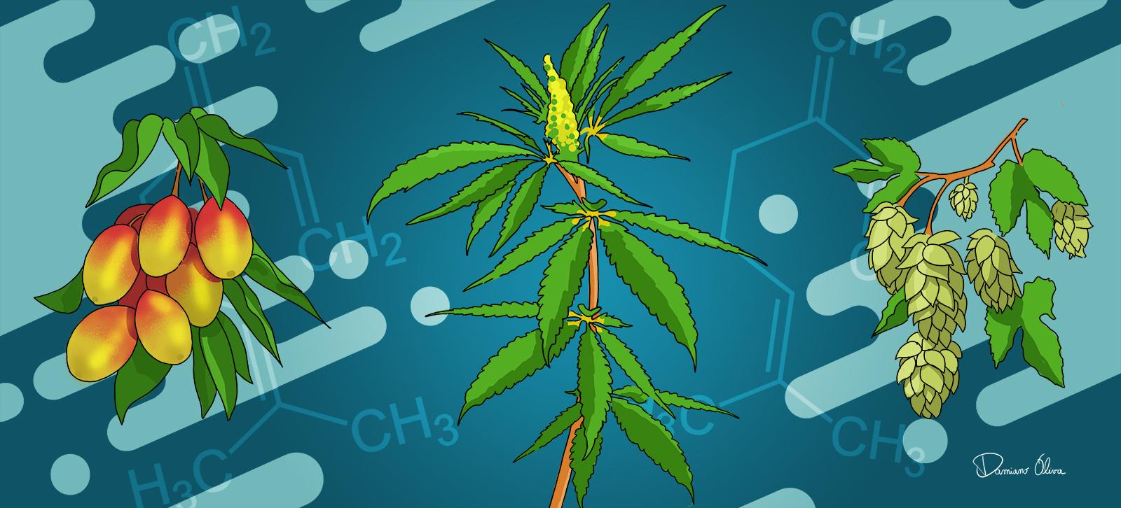 β-mircene alla scoperta delle proprietà anti-infiammatorie e analgesiche - Cannabiscienza