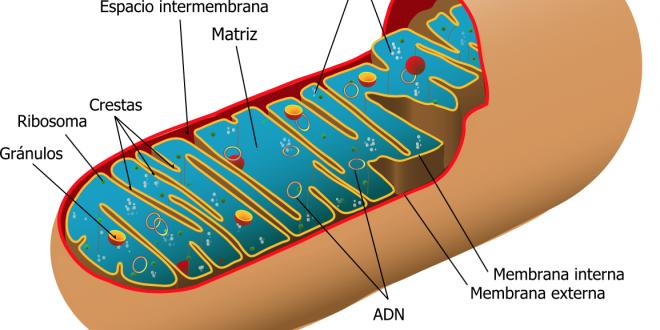 Mitocondrias: la fábrica de energía de la célula