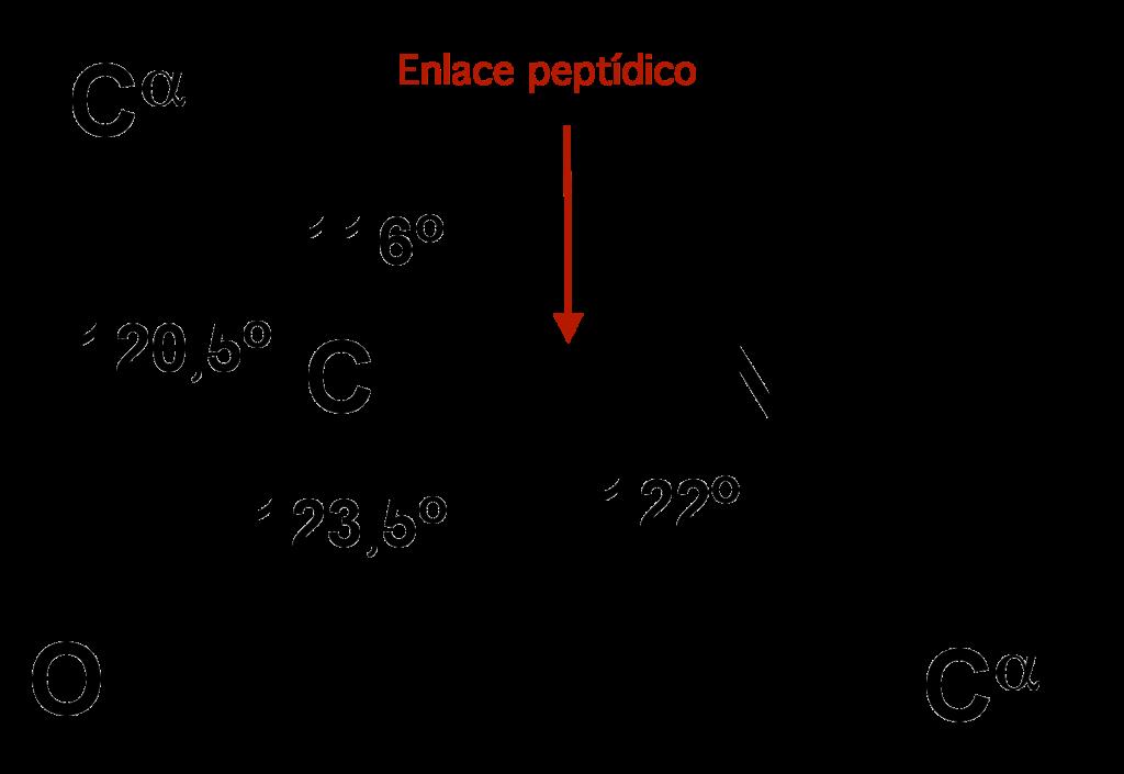 enlace peptidico