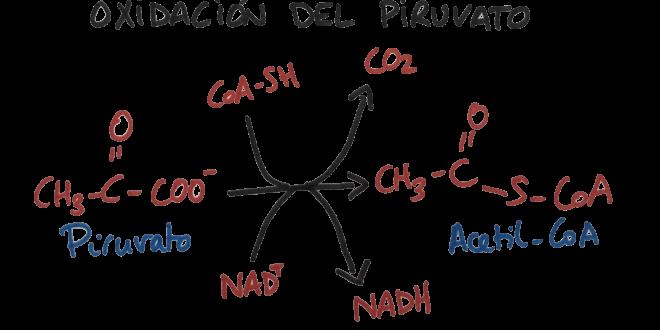 oxidación piruvato