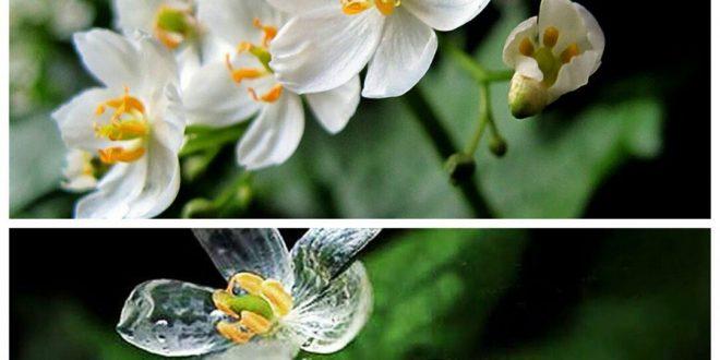Diphylleia grayi, flor de cristal o flor esqueleto