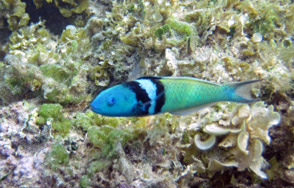 pez cambio de sexo