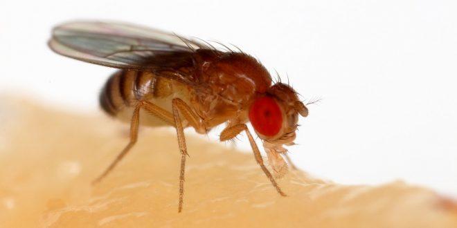 dolor cronico insectos