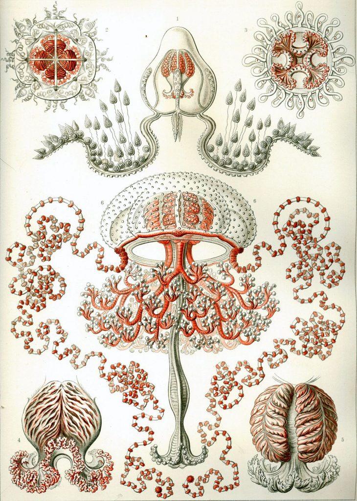haeckel dibujos medusas