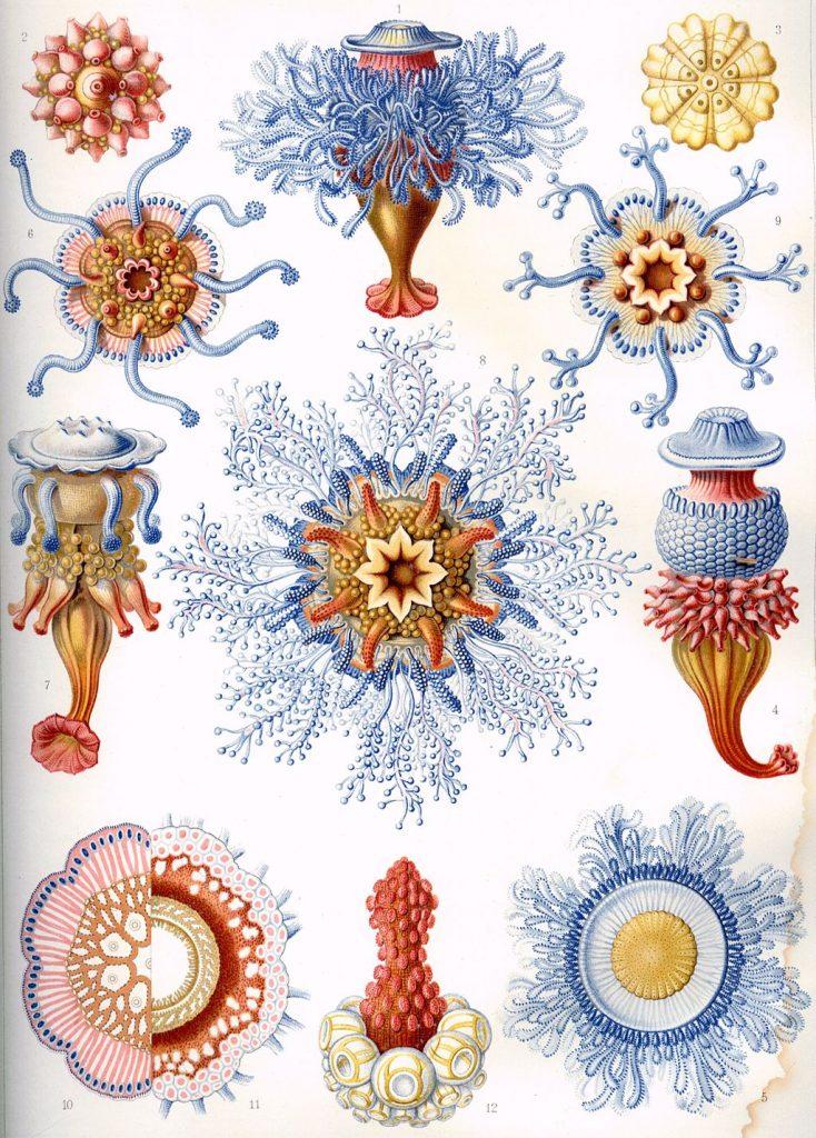 haeckel ilustraciones medusas