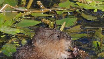 Biodiversité - Loutre