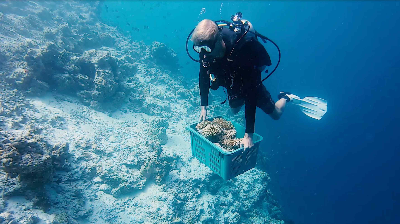 Restauration des coraux
