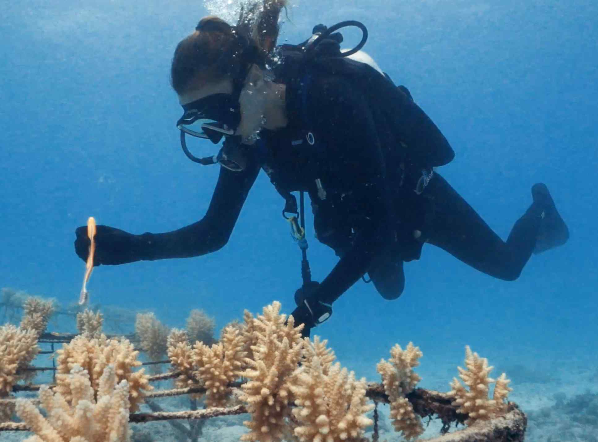 Replnater des coraux