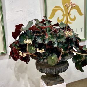 Begonia Erythrophylla.
