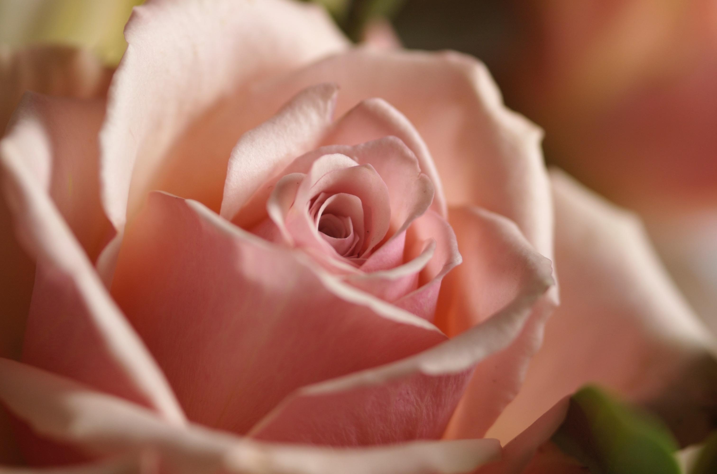 candida rosa