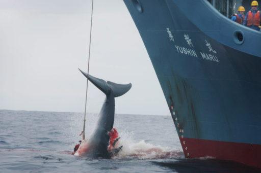 Après 30 ans et en plein sommet du G20, le Japon reprend la chasse à la baleine commerciale ce 1er juillet