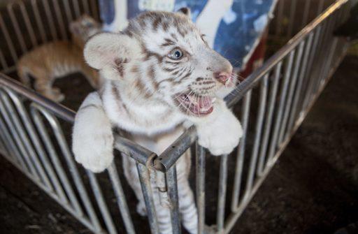 En retard sur la question, des personnalités françaises se mobilisent contre les animaux dans les cirques