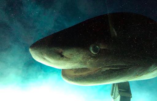 Retour vers le passé: un requin préhistorique filmé au large de la Floride