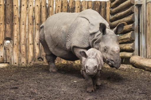 Ce rhinocéros blanc né aux États-Unis redonne de l'espoir à cette espèce menacée