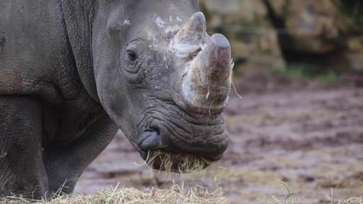 Exceptionnel: deux bébés rhinos blancs sont attendus pour la fin 2019 à Pairi Daiza (Vidéo)