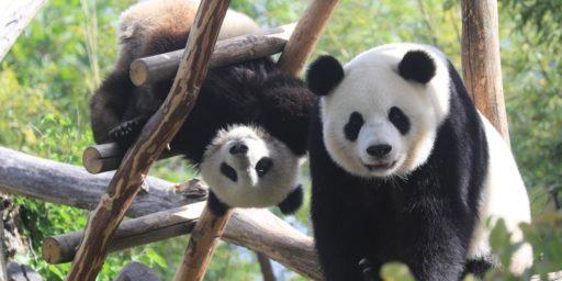 Journée exceptionnelle à Pairi Daiza: deux bébés panda sont nés