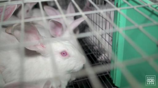 L214 retourne au combat et montre les conditions de vie déplorables des lapins dans un élevage français