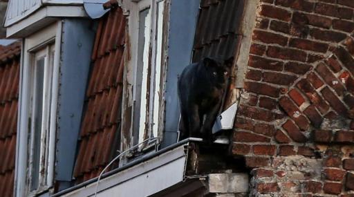 Qui a joué à Jumanji?Une panthère noire se retrouve sur un toit à la frontière franco-belge