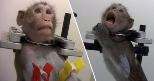 Le laboratoire de l'horreur en Allemagne: chiens et singes torturés face à une caméra