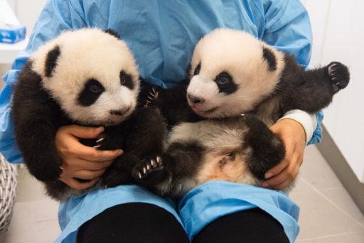 Tu as le pouvoir de choisir le nom des bébés pandas de Pairi Daiza