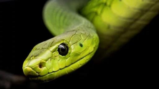 Harry Potter dans le monde réel: une espèce de serpent récemment découverte nommée en référence à Salazar Serpentard