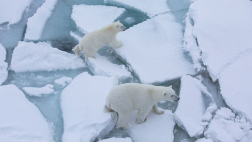 L'étude inquiétante du jour: les ours polaires pourraient disparaître en 2100