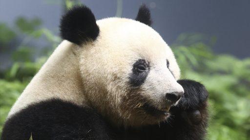 Et si sauver les pandas condamnait d'autres espèces? C'est en tout cas ce que révèle une nouvelle étude