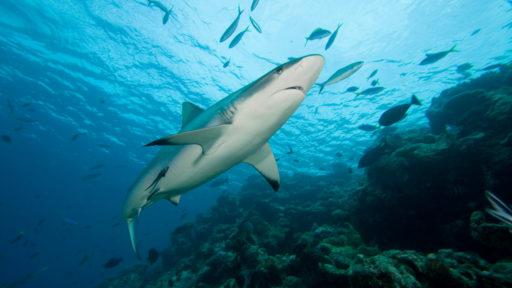 La vie secrète des requins: une étude montre qu'ils sont bien plus sociables qu'il n'y parait