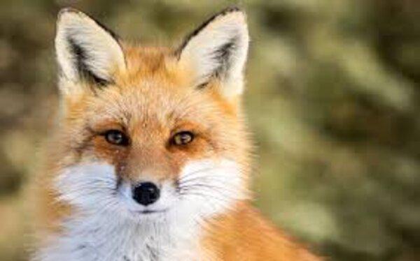 assos le renard