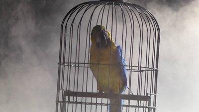 cover perroquet Venceslao