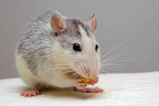 Buikgevoel: autisme-symptomen gecreëerd bij muizen na transplantatie met … uitwerpselen