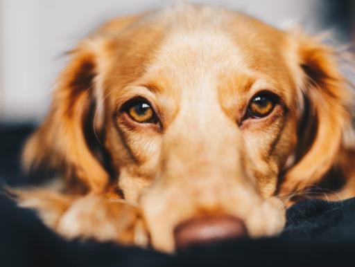 Spier ontdekt bij de hond die zorgt voor triestige blik en je telkens weet in te palmen