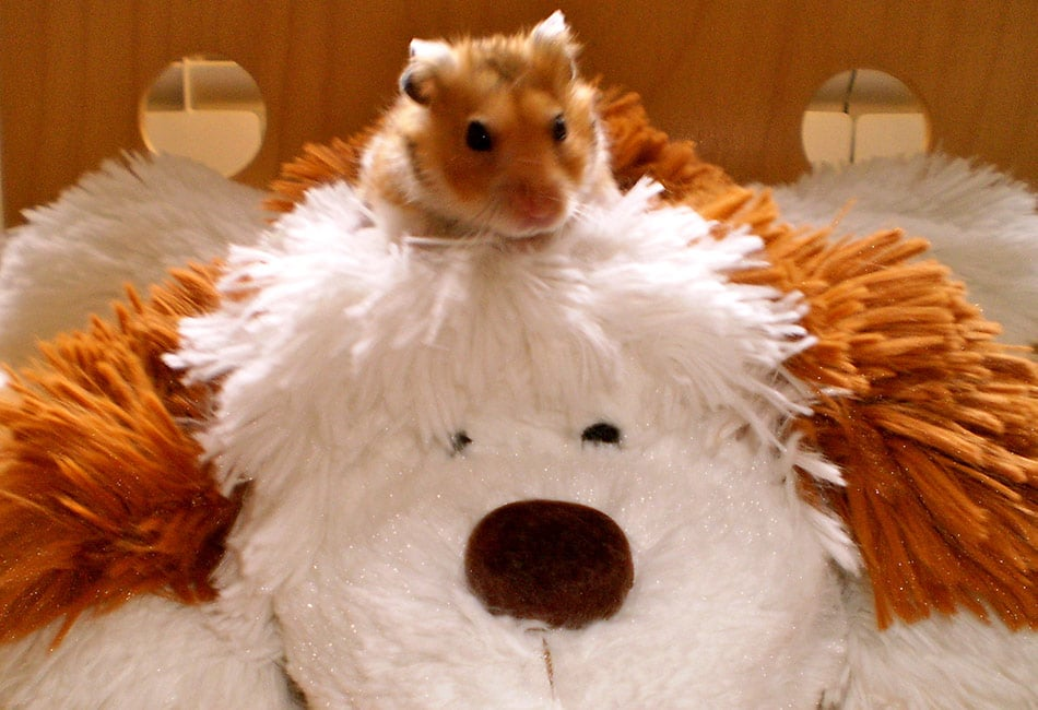 What is the difference between a guinea pig, a hamster and a mouse?